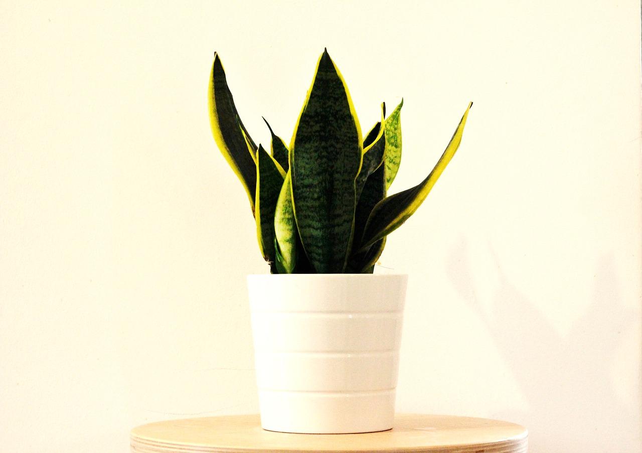 Sansewieria – roślina dla zapracowanych