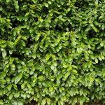 Laurowiśnia – krzew, czy drzewo?